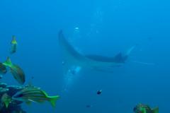 Manta Ray. Manta. (Manta Birostris). (omar.flumignan) Tags: manta mantabirostris mantaray dive immersione maldive maldives atollo atoll ari south sud holiday vacanza sachika cruise crociera sea mare oceanoindiano indianocean canon g7xmk2 fantasea fg7xmk2 azzannatori snapper mofushicorner