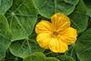 Yellow Nasturtiums 222 of 365 (4) (bleedenm) Tags: petersongarden 2017 abrams august communitygarden summer vegetables illinois usa flowers