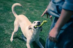 Green Ways (Cris Avila) Tags: dog green grass portr portrait fun playful joy toy person animal male colorful