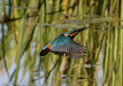 Kingfisher Male Alcedo atthis 001-1-2 (cwoodend..........Thanks) Tags: 2017 august2017 august wwt warwickshirewildlifetrust brandon brandonmarsh brandonmarshnaturereserve naturereserve nature steetleyhide kingfisher kingfishermale diving kingfisherdiving fishing kingfisherfishing warwickshire alcedoatthis