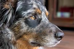 32/52 Weeks of Finn {Explore 8/13/17} (Raquel Robison) Tags: 52weeksfordogs 52weekoffinn finn dogs up close texasheeler