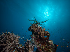 Crinoid on the loose (altsaint) Tags: 714mm egypt elquseir gf1 panasonic redsea roots crinoid fish scuba underwater