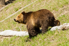 Checking things out (Explored} (ChicagoBob46) Tags: grizz grizzly grizzlybear bear yellowstone yellowstonenationalpark nature wildlife explore explored coth5 ngc sunrays5