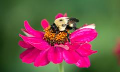 IMG_8040 Bee on Zinnia (suebmtl) Tags: bee bumblebee flower pink feeding pollinator pollination pollen summer quebec canada canon