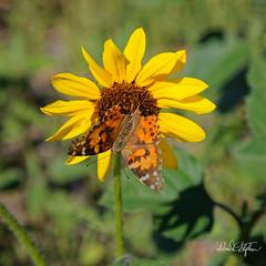 God's Messenger (dcstep) Tags: butterfly sunflower aurora colorado unitedstates us n7a9611dxo theland communion canon5dmkiv ef100400mmf4556lisii handheld allrightsreserved copyright2017davidcstephens dxoopticspro1142 pastorstephanie