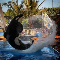 Orca im Loro Parque (D.Purkhart) Tags: orca loroparque tenerife