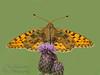 Dark Green Fritillary (laagwater) Tags: darkgreenfritillary groteparelmoervlinder argynnisaglaja vlinder butterfly nikond300 sigma300mmf4apomacro
