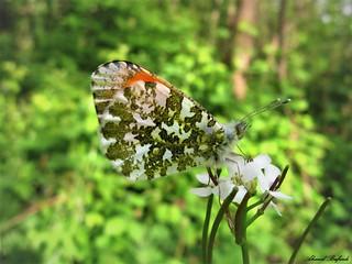 Butterfly 1421