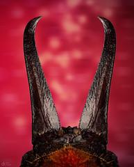 Earwig Tail (Can Tunçer) Tags: can cantunçer cantuncer canon canon6d macro makro macros macrophotography micro mikro makros microscop microscope mitutoyo mitu5x mpe65mm stack stacking studio setup stand tunçer turkey turkiye türkiye tuncer tabletop izmir ikea jansö jansjö