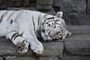 Pairi Daiza (Christian Van Rattinghe) Tags: animal tigreblanc