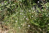 Clavellines (esta_ahi) Tags: clavellina clavellines dianthus clavelina caryophyllaceae flor flora flores silvestres pink garraf barcelona spain españa испания
