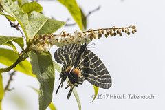 Bhutanitis ludlowi ブータンシボリアゲハ (Hiro Takenouchi) Tags: bhutanitis swallowtail insect india butterflies butterfly schmetterling mariposa papilionidae papillon parnassiinae papilionid arunachal eaglenest