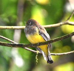 Violaceous Trogan (adeleshaw) Tags: costarica birds centralamerica nature wildlife
