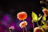 Dahlie (Thilo Sengupta) Tags: flower macro natur nature blüte blossom nice nicepic picoftheday wonderful beautiful orange lila violett purple canon canoneos80d lightroom tamron tamronlens tamron70200mm f28 bokeh tiefenschärfe dof depthoffield sommer summer farbe color flowersofflickr pflanzen plants dslr fleur