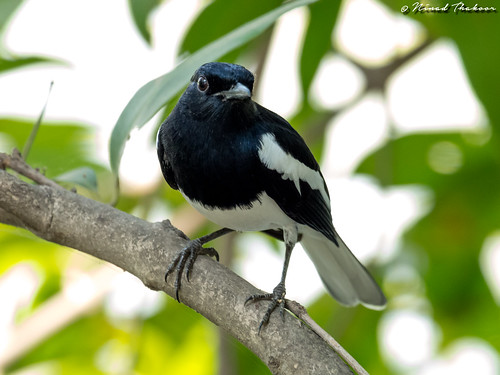 """Oriental Magpie-robin • <a style=""""font-size:0.8em;"""" href=""""http://www.flickr.com/photos/59465790@N04/36178824374/"""" target=""""_blank"""">View on Flickr</a>"""