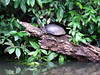 Rio Sarapiqui_89 (Thomas Jundt + CV) Tags: costarica flussfahrt limon riosanjuan riosarapiqui schildkröte tortuguero