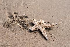 Starfish - Tales of life and death (Maria Salvador) Tags: areal caparica estreladomar sand beach starfish