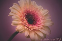 Vintage soft colour style flower (MadeleineVanWijkPhotography) Tags:
