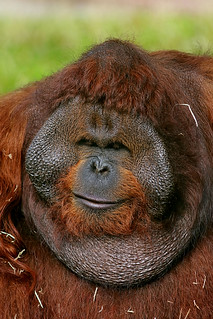 Bornean Orangutan (Pongo pygmaeus) (Explored)
