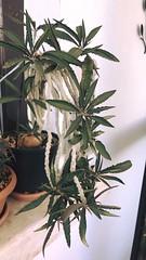 Euphorbia suzannae marnierae (Hasan Ataç) Tags: