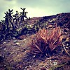 (phizzy75) Tags: prick volcano timanfaya cactus