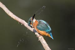 Kingfisher shake (kevinclarke1969) Tags: kingfisher sigma 150600 canon7dmk2 fishing bird animal