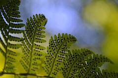 Under The Fern (SimplyCMB) Tags: spores sporangia fern leaves dots nature green summer michigan leelanau