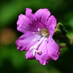 Ouverture (BrigitteChanson) Tags: fleur flower bloem fiore flor macro