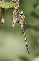 Aeshna mixta, Migrant Hawker, Paardenbijter (meijsvo) Tags: aeshna mixta paardenbijter migrant hawker nature sommer insects