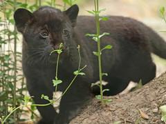 jaguar, born 28 6 2017 artis BB2A2464 (j.a.kok) Tags: jaguar blackjaguar zwartejaguar jaguarcub artis rica mowgli mammal zoogdier dier animal southamerica zuidamerika kat cat predator pantheraonca