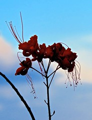 Pride of Barbados Flowers Stand In Sympathy with The Residents of Barbados And All The Islands Hit by Hurricane Irma-2 (Chic Bee) Tags: territories puertorico virginislands leewardislands floridakeys cuba cloudysky sadness sorrow silhouettes prideofbarbados flowers stand sympathy residents barbados atlanticocean atlanticislands devastation hurricanes hurricaneirma oceanatlantic irma grandcaymanislands bermuda barbuda marcoisland florida