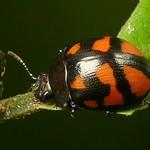 Leaf Beetle, Platyphora sp. thumbnail