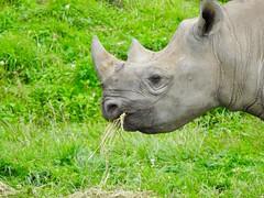 Eating rhino (Artybee) Tags: yorkshirewildlifepark ywf zoo animal wild black rhino