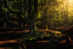 Hayedo de Otzarreta (pajavi69) Tags: hayedodeotzarreta gorbea atardecer luz bosque árbol árboles sombras mistico sunset light forest tree trees shades mystical nikon d7100 vizcaya serenidad airelibre paisaje