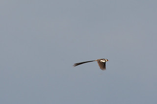 Pin-tailed Whydah flying