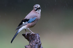Eurasian Jay (Mr F1) Tags: eurasian jay johnfanning wild bird perch rain wet dull detail closeup blue electric feathers
