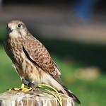 Tomar - Falconry exhibition / Falcoaria (Aves em movimento) thumbnail