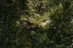 "Black Bear • <a style=""font-size:0.8em;"" href=""http://www.flickr.com/photos/63501323@N07/36456932513/"" target=""_blank"">View on Flickr</a>"