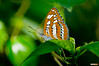 Freyer's Fritillary Butterfly (Classicpixel (Eric Galton) Photography Portfolio) Tags: butterfly insect papillon chenille caterpillar leaf leaves feuille nikon d100 ericgalton classicpixel carletonuniversity butterflyshow wing ailes macro tropical tropiques freyersfritillary