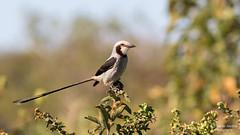 Streamer-tailed Tyrant (Cristofer Martins) Tags: tesouradobrejo gubernetesyetapa streamertailedtyrant green nature wildlife birds bird birdwatching brazilianbirds sunrays5 coth5