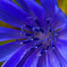 Brilliance (aronjanzen) Tags: macro macroperfection macrophotography makro m brilliance icy blue flower nikon nikond7200 nature