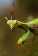 Mantis! (Margo Dolan) Tags: