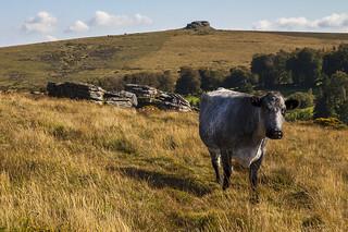 Dartmoor Cow Encounter