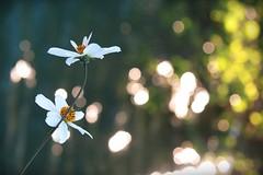 Te rencontrer... (nathaliedunaigre) Tags: fleurs flowers marguerites daisies bokeh lights lumières light lumière brillant brillance macro joie joy hope espoir couleurs colors coloré colored