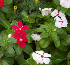 Vinca Flowers. (dccradio) Tags: lumberton nc northcarolina robesoncounty outdoors outside flower floral flowers vincas vinca flowerbed flowergarden white pinkcenter greenery leaf leaves foliage red nikon d40 dslr