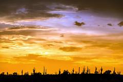 Sonoran Sunset (Plotz Photography) Tags: az arizona desert acti cactus saguaro landscape sunset clouds sky southwest usa travel america sonoran