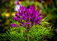 Spider flower (Peter Leigh50) Tags: cleome spider flowers flower garden gardens plants canon eos 6d