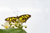 Malachite (pallab seth) Tags: malachite siproetastelenes nymphalidae brushfootedbutterfly butterfly macro nature nikon sensationalbutterfliesexhibition naturalhistorymuseum tamronaf90mmf28dispam11macrolens