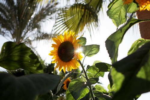 Sunflower under the sun