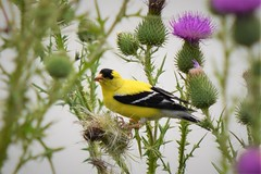 Goldfinch in the thistle (marensr) Tags: bird goldfinch thistle finch nature spinus tristis skokie lagoons illinois